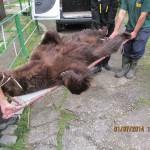 transfer ursi zoo Resita